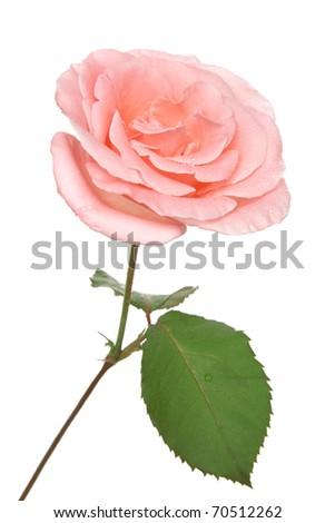 Single pink rose isolated on white background - stock photo