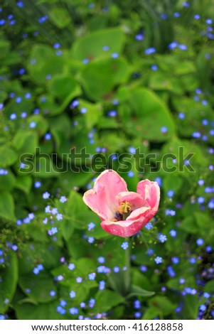 Single pink tulip with a natural blurred background.