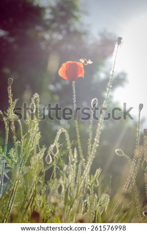 Single poppy flower and bee against the sunlight - stock photo
