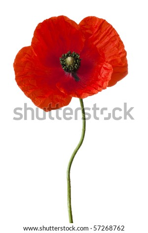 Single poppy isolated on white