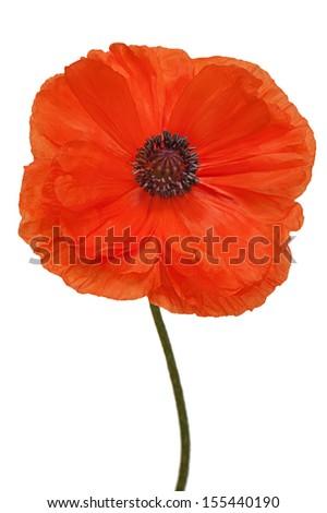 Single poppy isolated on white background. Closeup. - stock photo