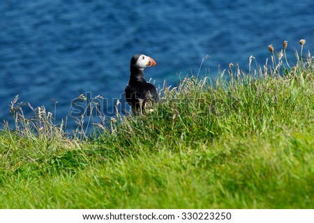 Single Puffin on green grass in front of the ocean at the scottish isle of Staffa, copy space - stock photo