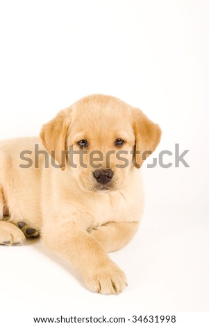 Single puppy labrador retriever isolated on white background