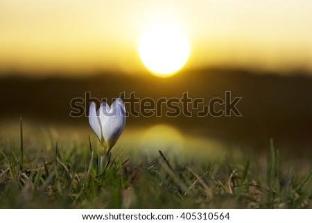 single purple crocus in grass at dawn or dusk - stock photo