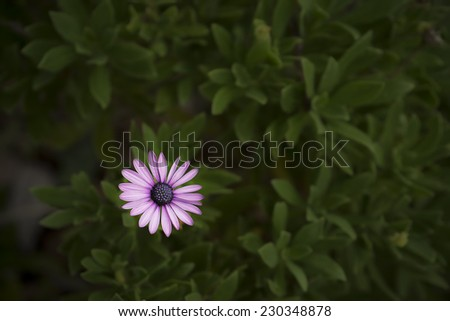 Single purple flower of African daisy Osteospermum on a dark solemn background suitable for condolence or sympathy message or card - stock photo