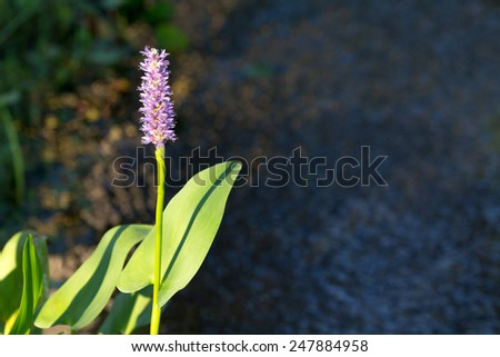 Single Purple Pickerel Rush near a fresh water spring.  - stock photo