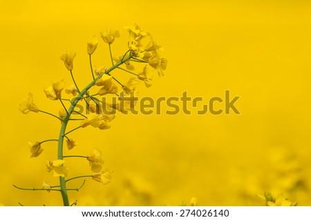 single rape plant against crop background - stock photo