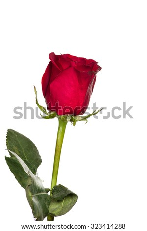 Single red blooming rose isolated on white - stock photo