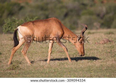 Single red hartebeest walking in grassland South Africa