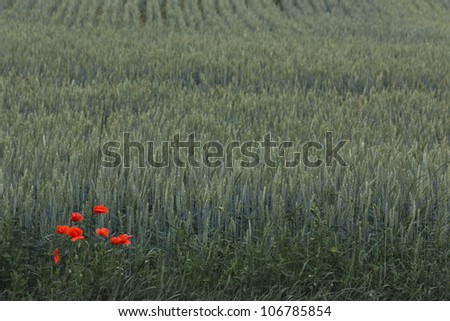 Single red poppies over wheat background - stock photo
