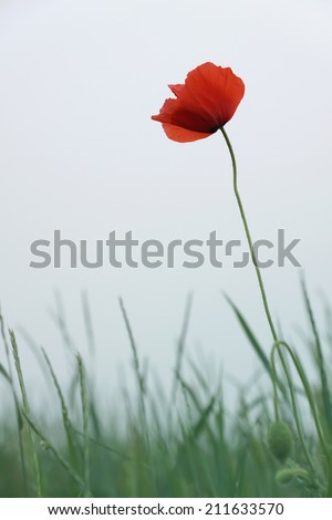 single red poppy flower against grey sky (shallow DOF) - Remembrance Day symbol - stock photo