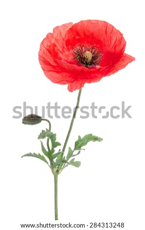 single red poppy isolated on white - stock photo