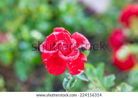 Single red rose blooming in the garden - stock photo
