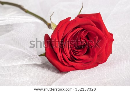 Single Red Rose Close Up and on White Tulle Fabric - stock photo