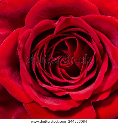 Single red rose close up showing petals - stock photo