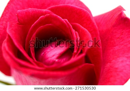 Single red rose flower isolated on white background.