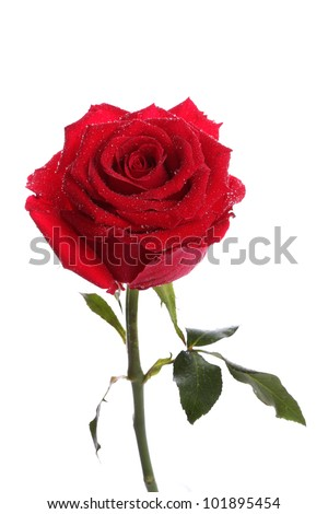 Single red rose flower with dew on white background - stock photo