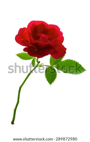 Single red rose flower with stem and leaves isolated on pure white background. - stock photo