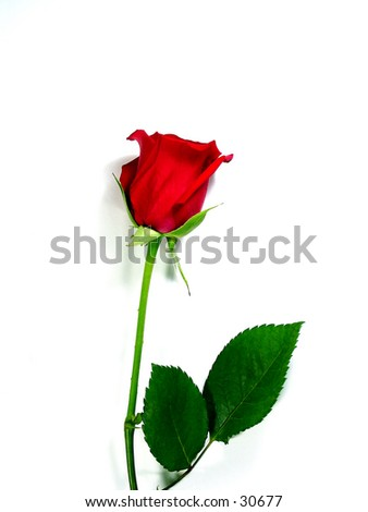 rose symbol single red rose on white symbol stock photo 30677 shutterstock