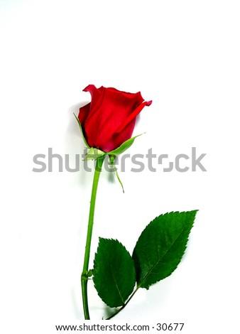 rose symbol single red rose on white symbol stock photo 30677 shutterstock