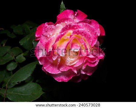 Single red rose with dew isolated on black background - stock photo