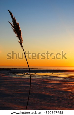Single reed flower at a beautiful sunset by a coast