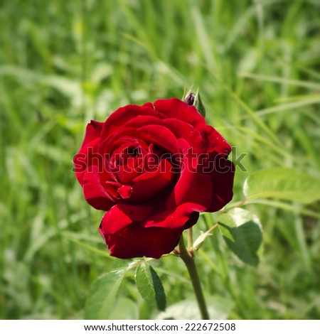 Single Rose Flower Over Natural Green Background