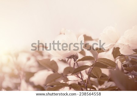 Single Rose Flower Over Natural Green Background  - stock photo