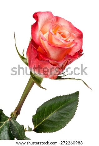 Single Rose Stem with Red and Peach Colored Petals and Green Leaves Isolated on White Background - stock photo