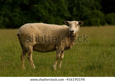 Single sheep turned looking at the camera standing in the grass near farmland - stock photo