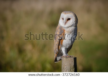 Single solitary barn owl looking left perched on post with natural background