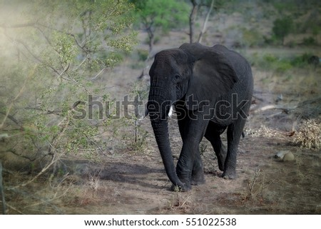 Single South African baby elephant