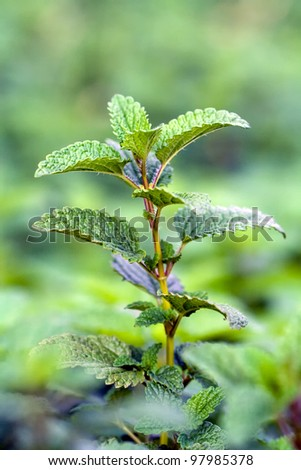 single stem and leaves of melissa officinalis or lemon balm - stock photo