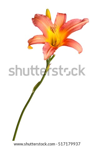 Single stem with a pink and yellow daylily flower and unopened bud isolated against a white background