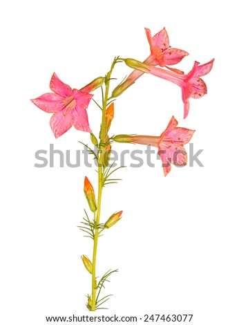 Single stem with light-red flowers of Ipomopsis aggregata cultivar Hummingbird, also called scarlet trumpet, scarlet gilia, or skyrocket, isolated against a white background