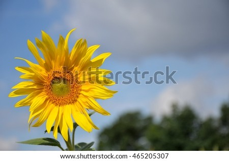 Single Sunflower at sunset in a flower field blue sky in the background