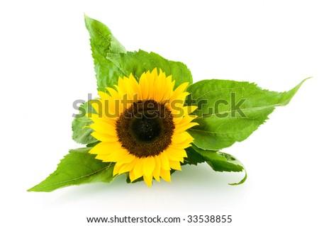 Single sunflower isolated on white background - stock photo