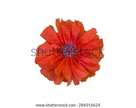 single terry red poppy isolated on white background - stock photo
