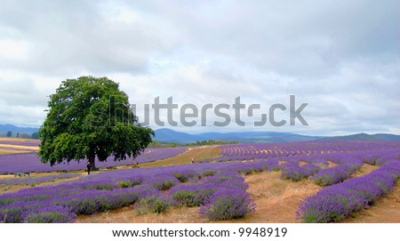 single tree in a lavender field - stock photo