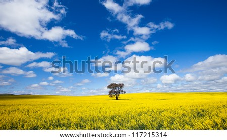 Single tree in Canola Field - Clare Valley, South Australia - stock photo