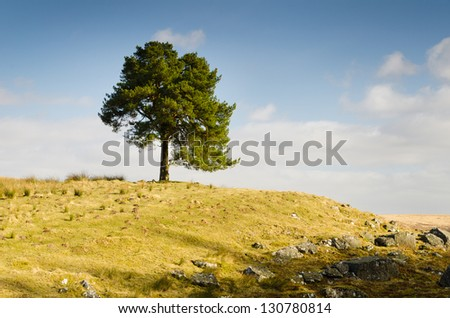 Single tree on a hill with stone outcrop and mole hills