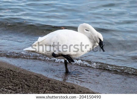 Single trumpeter swan standing on one foot in cold water looking down. - stock photo
