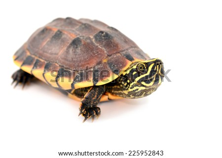 Single turtle isolated on white background