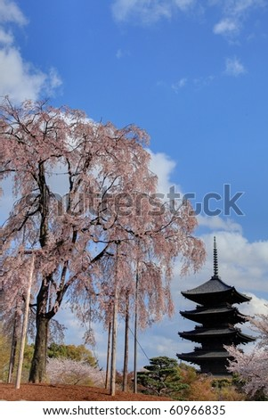 Single weeping cherry tree with pagoda in Kyoto,Japan