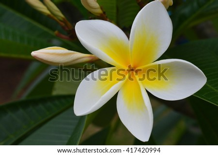 Single white and yellow frangipani flower with bud.