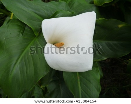 single white calla lilly in green leaves - stock photo