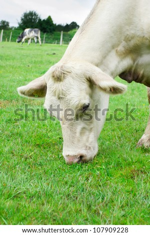 Single white cow eating grass
