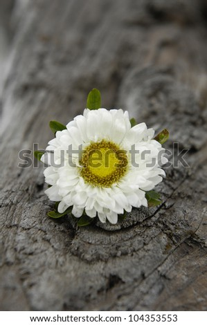 Single white daisy flowers on driftwood texture