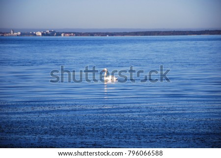 Single white mute swan swimming in calm blue water