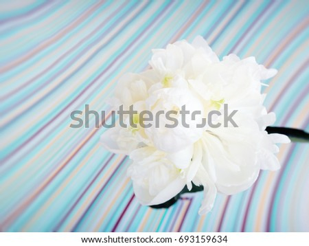 Single white peony flower macro on a pastel colors striped background